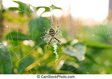 Spider argiope bruennichi on the web in the garden