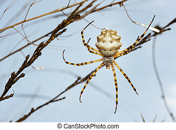 Spider argiope lobed on the web among the grass