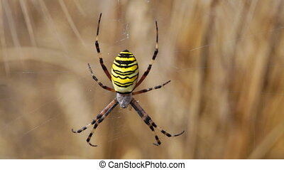 Spider Argopa Brunnich on the web - Spider Argopa Brunnich...