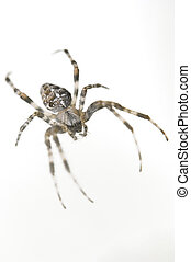 Big spider isolated on white background