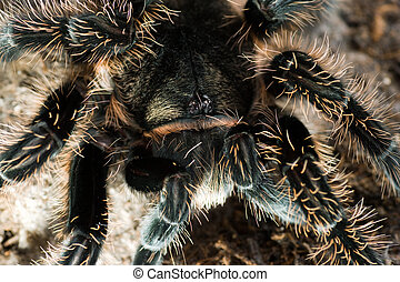 Spider