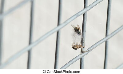 Spider caught a fly in the web. Insect spins his victim with...