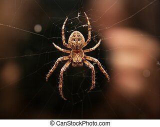 Spider - Closeup of a cross spider in its web