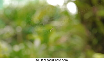 Spider creating it's web Natural background. Malaysia.
