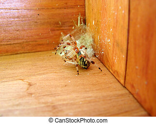 Beautiful pale color wolf spider defending its nest placed in the corner of a wooden box by lifting its front legs ready to jump