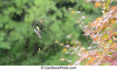 Spider eating cicada - Female of a Golden silk orb-weaver...