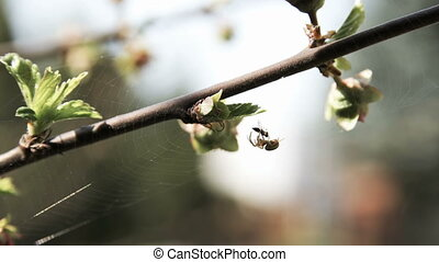 Spider eating fly on prunus triloba - Small spider eating...