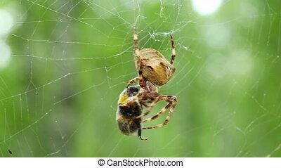 spider eats its prey - macro shot