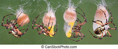 Spider egg laying - A series of photos of a black and yellow...