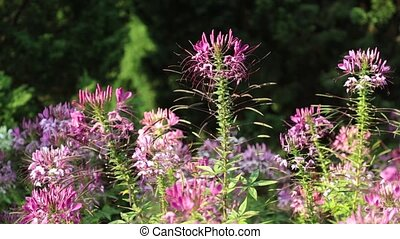 Spider Flower Plant Pink Queen HD Footage - Cleome...