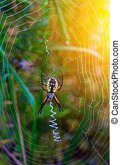 Spider garden-spider Araneus type of spider araneomorphae from the spider family Orb-web Araneidae
