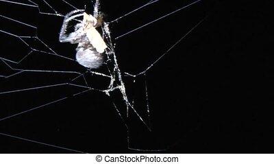 spider hunting.