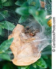 spider in cobweb close up on boxwood