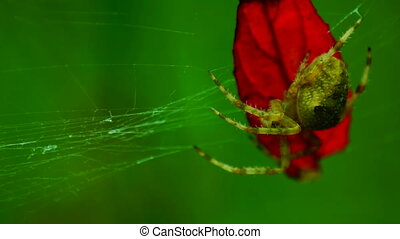 spider in the bush