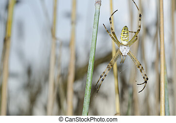 Spider in the wheat field