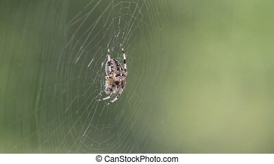 Spider in web - Spider waits for prey
