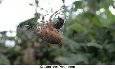 Spider injecting venom in prey - A spider injecting venom in...