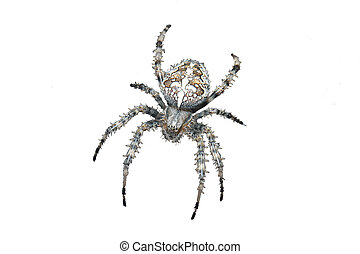 spider isolated - close-up of a spider with a cross on the ...