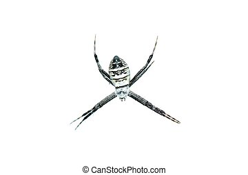 spider isolated in white background