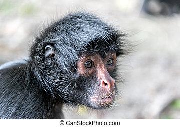 Spider Monkey Face Closeup