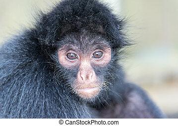 Spider Monkey Face