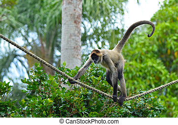 Spider monkey play on a rope