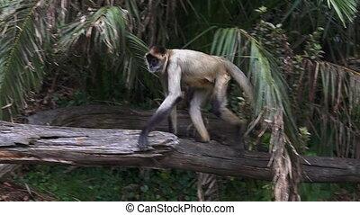 Spider monkey sit on a tree log - Spider monkey (Ateles...