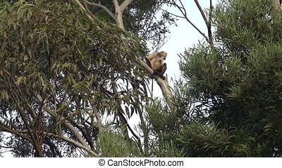 Spider Monkey sit on a tree - Spider Monkey spider monkey...