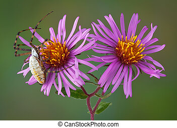 Spider on aster flowers