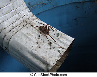 spider on downspout