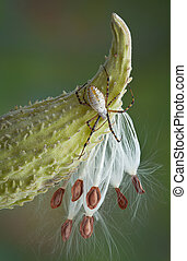 Spider on milkweed
