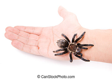 Spider on the hand isolated on white background.