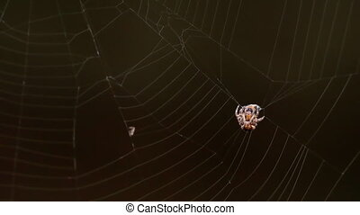Spider on the web, eats prey - Spider caught a fly entangled...