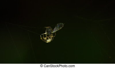 Spider on the web, wraps midge in cocoon
