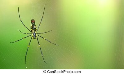 Spider On Web Giant Golden Orb Weaver - Spider closeup...
