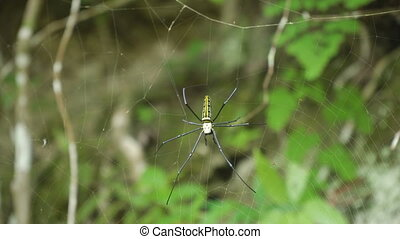 Spider on web. - Large tropical spider,nephila (golden orb)...