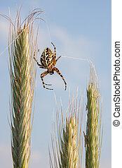 Spider on wheat