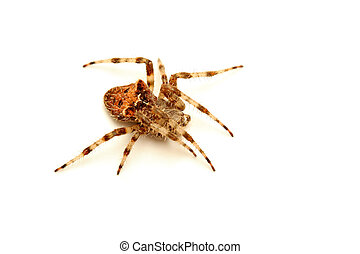 spider macro, over white with subtle shadow. shallow depth of field with focus on the eyes.