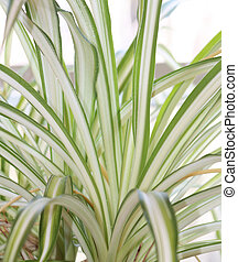 Spider Plant - A close up of leaves of a spider plant.