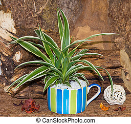 Spider plant in a colorful cup. - Spider plant in a colorful...