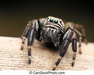 spider sauteur