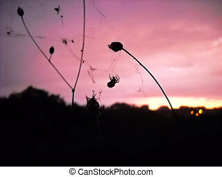 Spider silhouette over pink evening sky