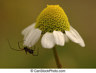 spider - Spider on daisey