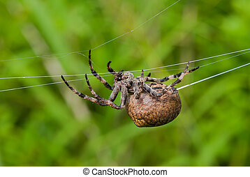 The big doe of spider spins spider-web 1