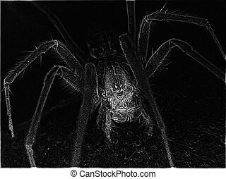 spider - gernan house spider