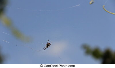 Spider swinging in cobweb