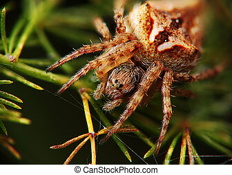 Spider close up in the position hunting and waiting for the prey.