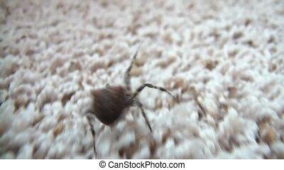 Spider Walking Away - Medium sized black spider walks away...