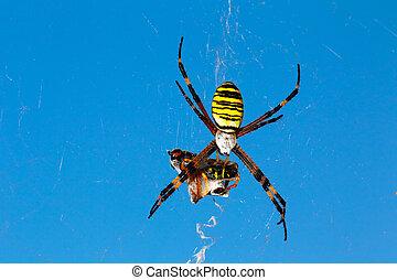 Argiope bruennichi - Spider wasp Argiope bruennichi with...