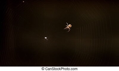 Spider weaves a web in summer evening